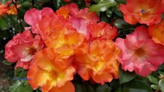 Giovanni Marradi - Tango de Roses
