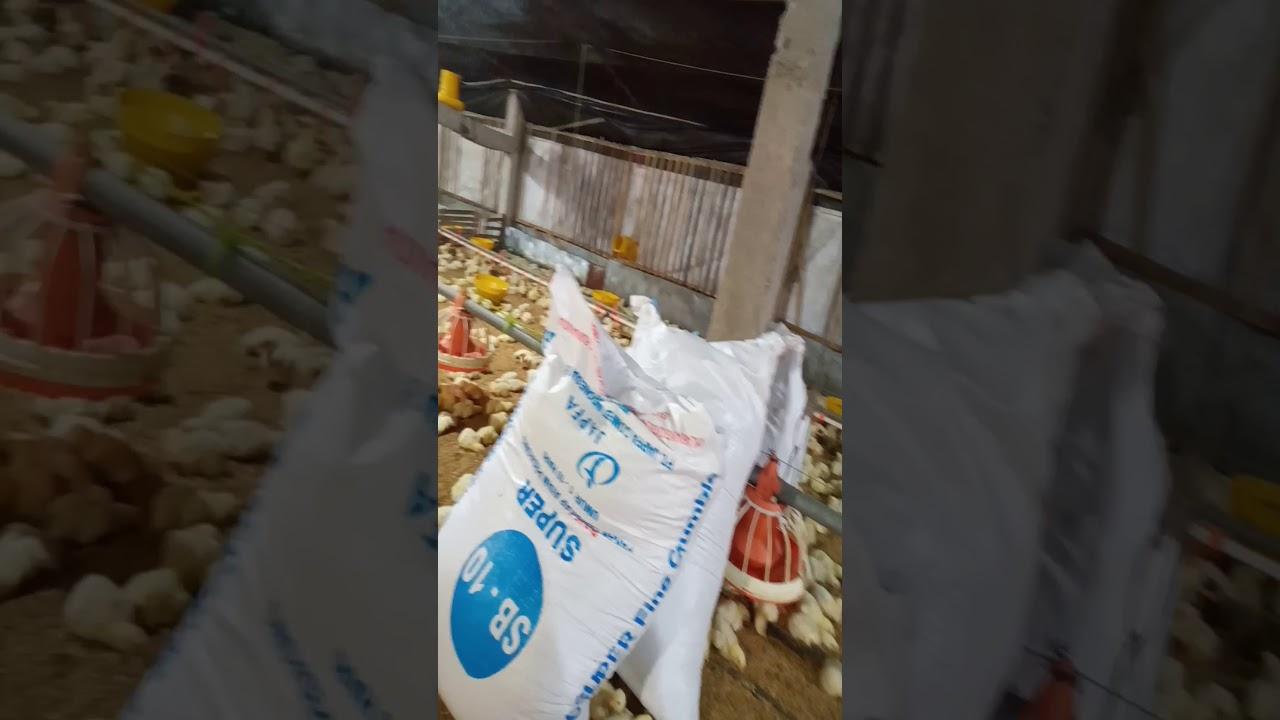 Usaha peternakan ayam broiler - YouTube