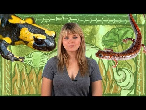 Animal Week - Salamanders