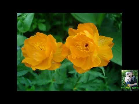 Полевые и луговые цветы.