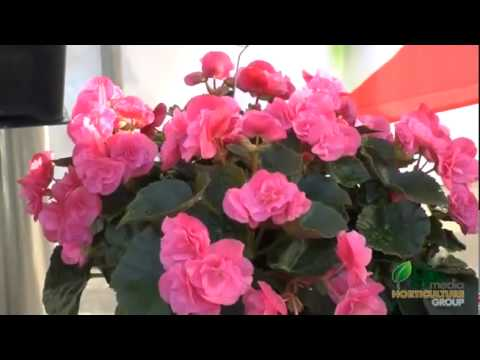 A Splash of Color in the Shade: Dragone begonias