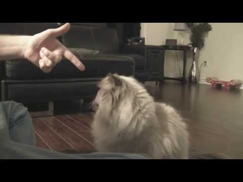 Himalayan cat Mio showing off tricks.