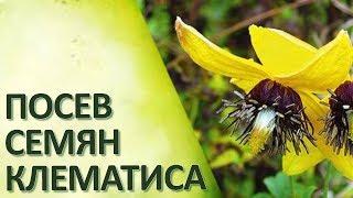 Посев семян клематиса Стратификация
