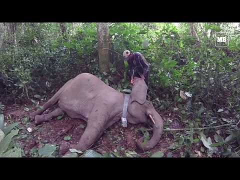 Gabon fights elephant poachers with hi-tech GPS collars