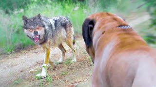 15 Dog Breeds That Can Kill Wolves