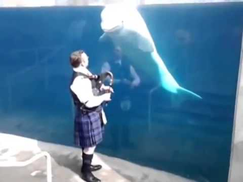 Funny Video- Beluga Whale Intrigued By Bagpipe Music