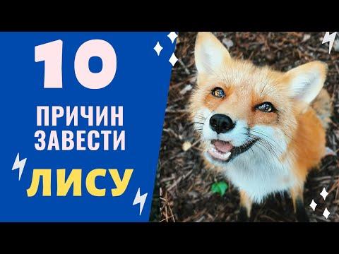 Веселые и смешные лисы - YouTube