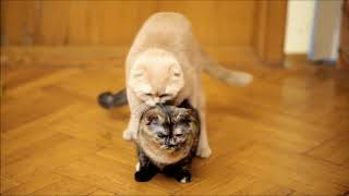 NEW Cats mating videos - Cats mate - Animal mating videos