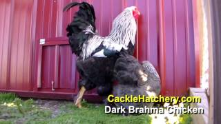 Dark Brahma Chicken Breed (Breeder Flock)
