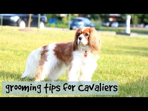 Grooming Tips for Cavalier King Charles | Herky & Milton the Cavaliers | Dogs & Puppies