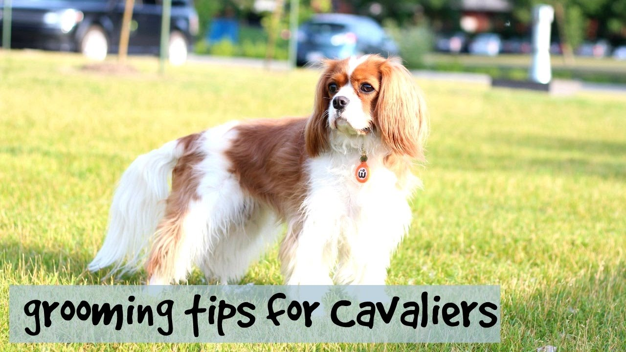 How to Care for Cavalier King Charles Spaniels