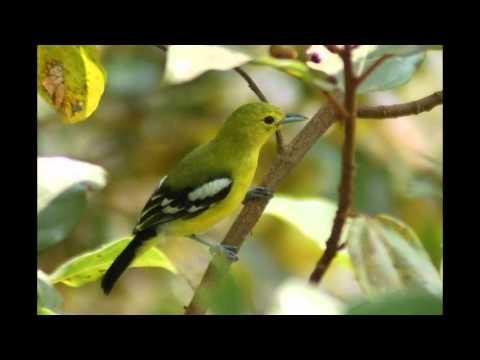 Suara Burung Cipoh