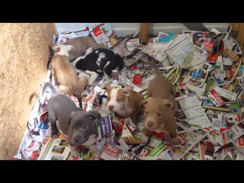 TWO LITTER OF AMERICAN BULLYS/BULLIES FOR SALE. 843-688-5098