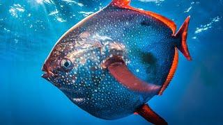 Facts: The Opah Fish (Moonfish)