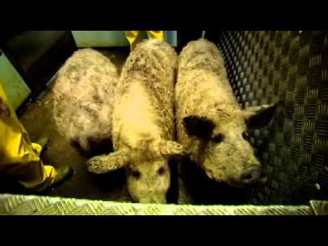 The F Word pigs go to slaughter - Gordon Ramsay