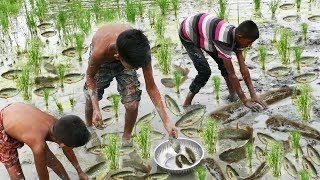Wow! Amazing Hand Fishing ! How To Catch Fish By Hand In Rice Field