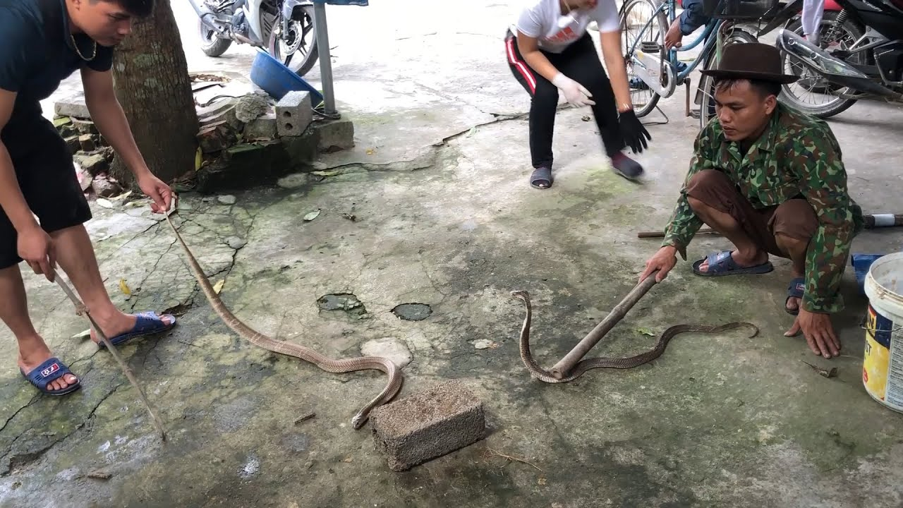 Dear! – Man Not afraid to die - Boy Catching Big Cobra - Snake Catchers