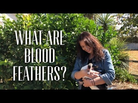 What do Blood Feathers look like?