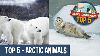 Arctic Animals | Archie's Extraordinary Top 5