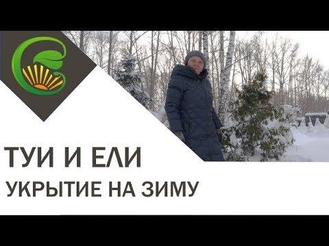 Вопрос: Зачем укрывают на зиму тую, в Подмосковье?