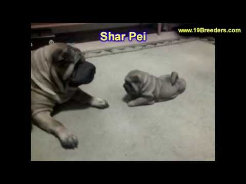Shar Pei, Puppies, Dogs, For Sale, In Chicago, Illinois, IL, 19Breeders, Rockford, Naperville