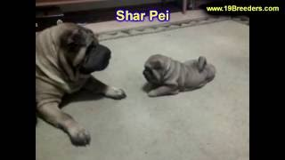 Sharpei, Puppies, For, Sale, In, Chicago, Illinois, Il, Carol Stream, Streamwood, Plainfield, Crysta