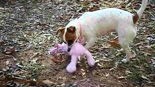 Missie Jrt/rat Terrier
