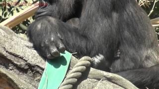 ゴリラのモモコ赤ちゃん無事出産! 2013/04/25 ニシローランドゴリラ 上野動物園  Japan 2013 Tokyo Ueno Zoo Baby gorilla was born!