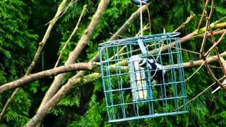 Yellow-rumped Warbler & Downy Woodpecker On Suit Feeder