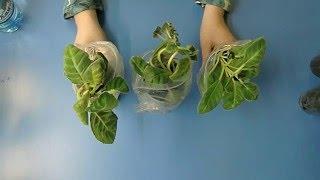 🌼Переросшие детки глоксиний. Как с ними поступить ? 🌼 🌱How to grow gloxinia part №21