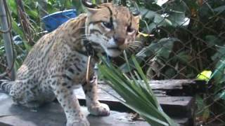 Engine the Ocelot: Om Nom Nom