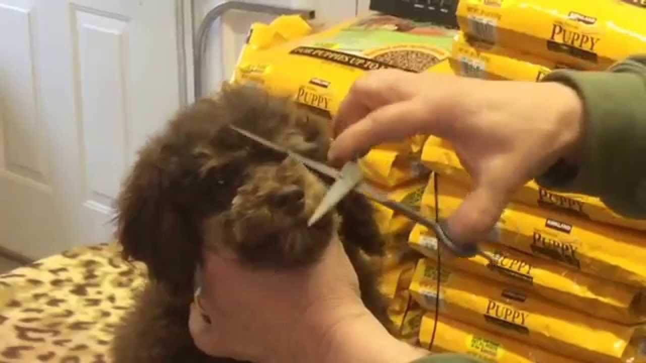 How we trim our schnoodles faces to cut down the tearing! Yes you can ...