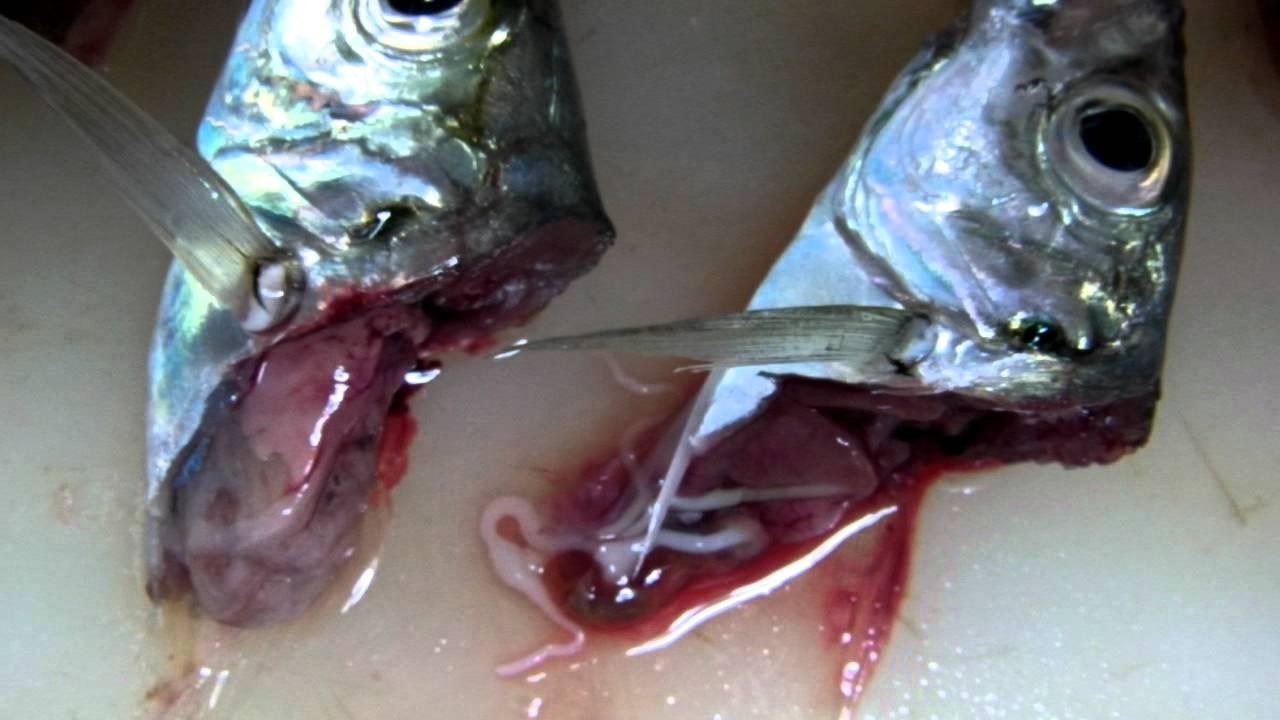 アジのさびき釣り:元気なサナダムシ , YouTube