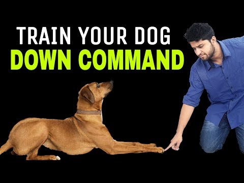 Train Your Dog DOWN In Hindi – Saint Bernard Training  | Dog Training In Hindi | INDIA