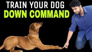 Train Your Dog DOWN In Hindi - Saint Bernard Training  | Dog Training In Hindi | INDIA