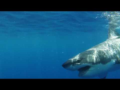 Great white shark cage diving (Guadalupe island, Baja California, Mexico)