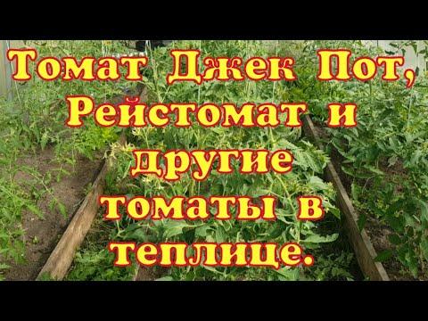 Томат Джек Пот/ Рейстомат/И другие сорта томатов в сезоне 2020 в моей теплице
