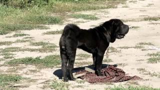"""""""Управляемая городская собака"""" (УГС) Шар пей """"Коди"""" , 5е занятие."""