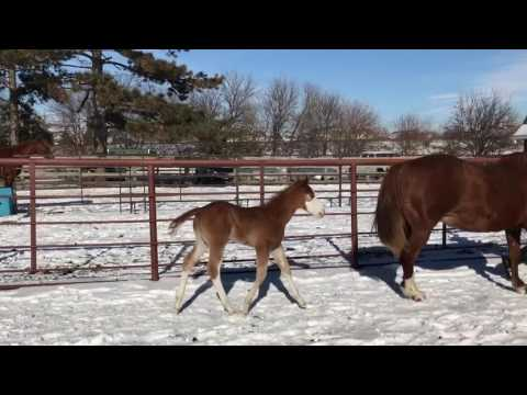 Lavender -2017 Double Registered APHA/AQHA Filly