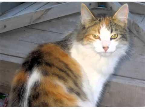 Aegean Cat Black And White - Cat Pictures