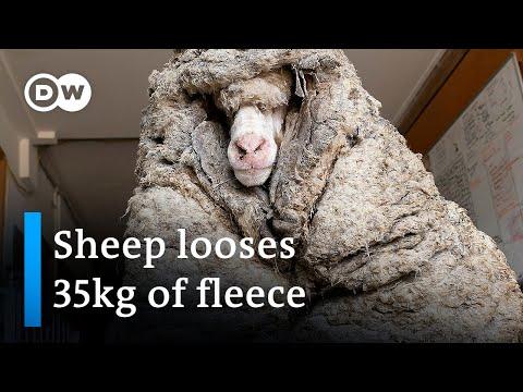 Wild sheep rescued in Australia shorn of 35kg fleece | DW News