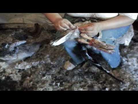 Vroege Vogels TV: Ganzenpluk