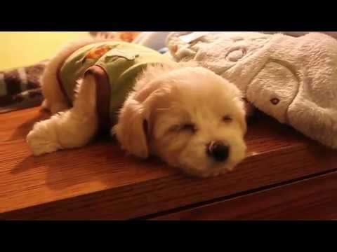 Harvey the Maltipoo Puppy - First Week Home