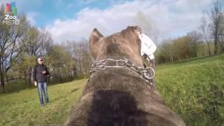 ГоПро и Кане-Корсо - Мир глазами собаки / GoPro and Cane Corso - Go pro dog