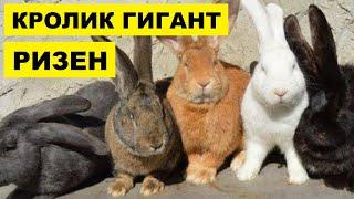 Разведение кроликов породы Ризен как бизнес идея | Кролиководство | Кролик Ризен
