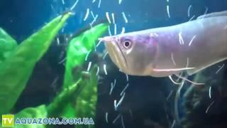 Арована серебряная - рыба для больших аквариумов(Купить прямо сейчас рыбку для аквариума Арована серебряная на сайте http://aquazona.com.ua/cat/akvariumnai_riba/ribka/index.html по..., 2014-02-03T07:50:22.000Z)