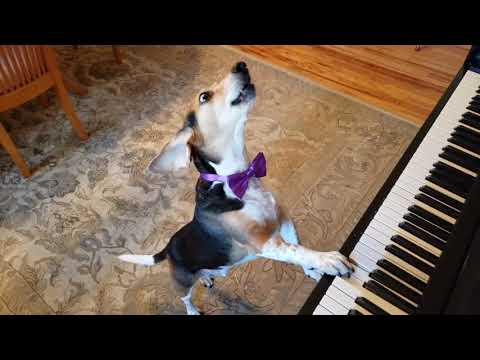 Dog sings and plays piano  (Lookout hollywood here  he comes)