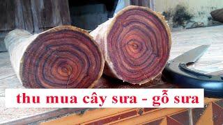Gambar cover Khai thác lõi vườn cây gỗ sưa đỏ 20 năm tuổi, thu mua gỗ sưa cây sưa 0968567238