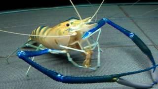 泰國蝦進食動作分析