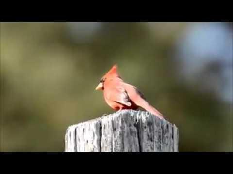 PASSARO LINDO = King Bird-of-Paradise in western New Guinea